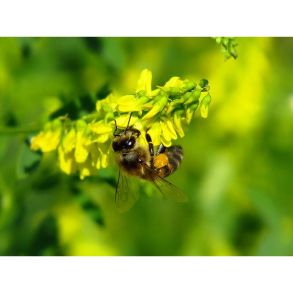 Мёд Донник малина клевер (А�...