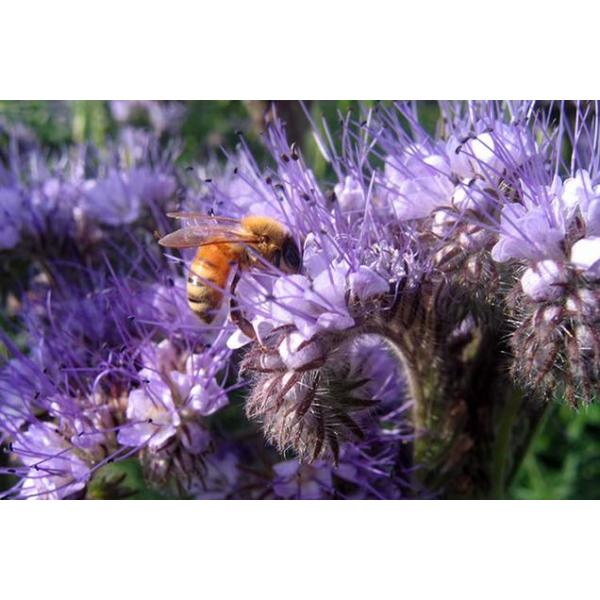 Мёд донник фацелия клевер (�...